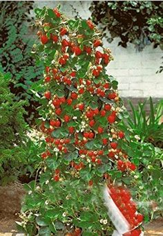 Fresa escalada gigante roja - 30 semillas