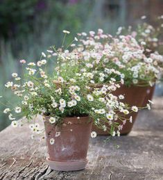 Perennials Erigeron karvinskianus This perennial self sows into crannies to make great curtain effects on steps, paths and walls. Pick yours now! - This perennial self sows into crannies to make great curtain effects on steps, paths and walls. Container Plants, Container Gardening, Plants In Pots, Shade Plants, Pot Jardin, Garden Cottage, Garden Planters, Potted Garden, Sun Garden
