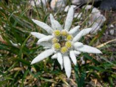 Edelweiss is located in the natural reserve of the Valle del Freddo( Valley of the cold) Bergamo-Italia Small Backyard Gardens, Backyard Garden Design, Edelweiss Tattoo, Alpine Flowers, Contemporary Garden Design, Garden Fencing, Types Of Flowers, Beautiful Landscapes, Flower Power