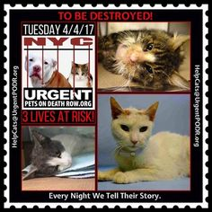 "TO BE DESTROYED 4/04/17 - - Info Please share View tonight's list here: http://nyccats.urgentpodr.org/tbd-cats-page/. The shelter closes at 8pm. Go to the ACC website( http:/www.nycacc.org/PublicAtRisk.htm) ASAP to adopt a PUBLIC LIST cat (noted with a ""P"" on their profile) and/or … CLICK HERE FOR ADDITIONAL…Please…Please...- Click for info & Current Status: http://nyccats.urgentpodr.org/to-be-destroyed-32017/"