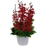 Modern, long lasting, red Dendrobium orchids presented with foliage, in a white ceramic pot. For more information, please contact. Melbourne Florist, 629 Hawthorn Road, Brighton East, Melbourne, VIC 3187, Phone: (03) 9578 9982, https://www.melbourneflorist.com.au/