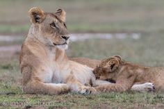 Suckling. | Lions. | Masai Mara. | Kenya. |  www.ingogerlach.com