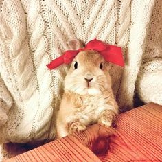 Image de bunny, girl, and red bow Cute Baby Bunnies, Cute Cats, Cute Babies, Animals And Pets, Funny Animals, Fluffy Bunny, Cute Little Animals, Cute Creatures, Chinchilla
