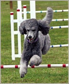 Exercise day for an agile Poodle named Silver… do you have a Silver? Poodle Drawing, Dog Dye, Silver Poodle, Pet Dogs, Pets, Doggies, Poodle Grooming, Wild Dogs, Dog Agility