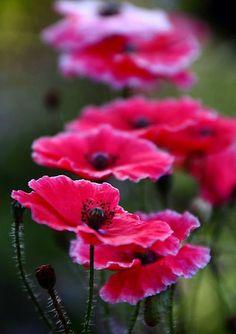 Beautiful Poppies