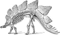this drawing shows the restoration of a stegosaurus skeleton stegosaurus was large herbivorous. Black Bedroom Furniture Sets. Home Design Ideas