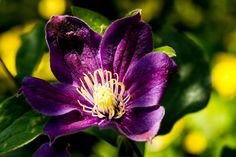 Large purple clematis flower with white finger stamens