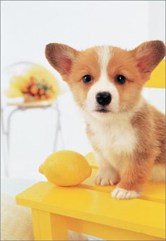 No reason to complain if life gives you lemons and a sweet Corgi puppy!
