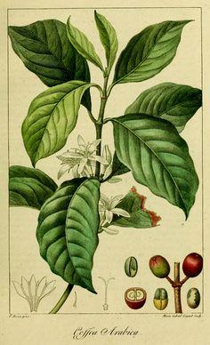 Arabica coffee variety
