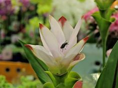 expo flores de holambra em salvador curcuma