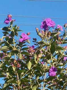 Tibouchina. Purple on blue.