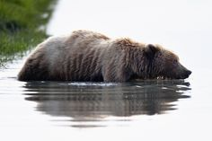 """Alaska swimming bear - I am really looking forward to my next trip to Lake Clark National Park, next summer. One of the world beste places to watch wild grizzly bears at close range. I met this bear in june 2014. It was on the middle of the day, the sunlight was quite hard, and it was hard to choose """"the correct"""" exposure."""