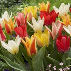 Order your top quality Tulip bulbs here! Dutch Tulip, Tulip Bulbs, Windmill, Spring, Flowers, Bonito, Windmills, Royal Icing Flowers, Floral