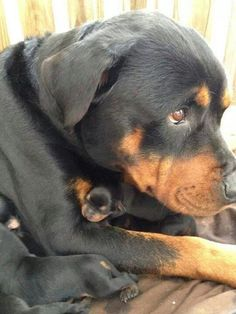 Rottweiler mom with her newborn puppies! Awww!
