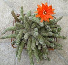 Este cactus es uno de los más comunes y fáciles de cultivar. Pero ello no le quita para nada la belleza de sus flores. Es endémico de la ...
