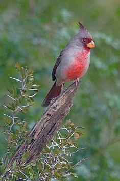 Cardenal pardo o cardenal desértico (Cardinalis sinuatus). Es un ave paseriforme de la familia Cardinalidae que habita en México, pero se encuentra también en el sur de los Estados Unidos, en los estados de Arizona, Nuevo México, y Texas.