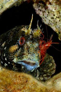 mediterranean blenny (Parablennius gattoruggine)with cleaner shrimp.