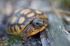 Baby Gopher Tortoise!  By Paul Brooke