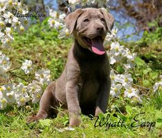 Silver labs silver lab puppies charcoal. chocolate, Silver lab puppies Silver Labs N Stuff, Tennessee breeders, Silver labs, Charcoal labs, Associated costs and agreements