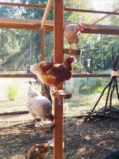 Cute Chicken Coops, Chicken Coop Run, Chicken Coup, Chicken Garden, Chicken Coop Designs, Farm Chicken, Inside Chicken Coop, Chicken Life, Chicken Tractors