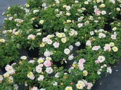 Rose Drift Popcorn, YELLOW and WHITE flowers, Disease Resistant, EASY to grow, Reblooms- Size: 3 gallon *Free Shipping*