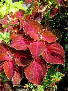 Coleus love a mix of some sun or bright light and add great color to any garden.  Shade is never a problem.
