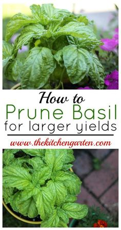 Hydroponic Gardening DIY Garden Idea - Easily prune your basil plants for larger yields with just a few quick snips. Fuller, larger basil plants will provide you with fresh herbs all summer! Diy Garden, Edible Garden, Lawn And Garden, Garden Plants, Garden Landscaping, Landscaping Ideas, Quick Garden, Greenhouse Plants, Fruit Garden