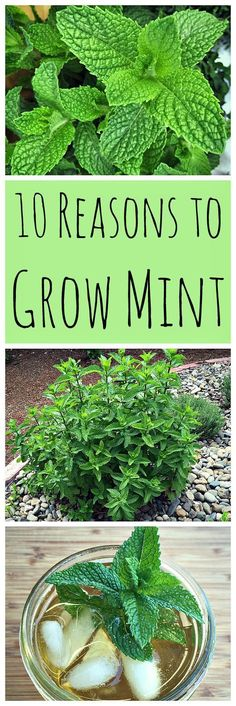 Learn these 10 reasons to grow mint, without fear of it taking over your garden! #OrganicGardening