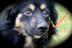 STEWIE is adopted! Shetland Sheepdog Sheltie Dog in Union Gap, WA. STEWIE IS A HEART BREAKER FOR SURE Because Stewie was forced to live in hoarding conditions and in spite of his lack of socializa...