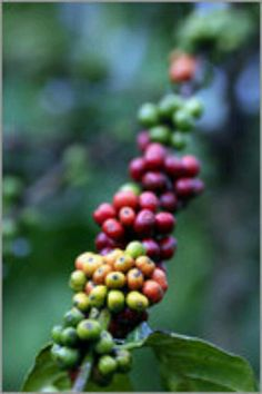 Ripening of #coffee beans