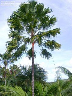 Saribus rotundifolius (Footstool Palm) syn. Livistona rotundifolia
