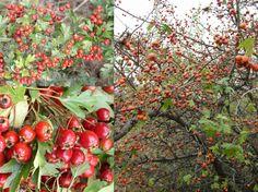 Szabadon Ébredők – A szív gyógynövénye – Galagonya Edible Plants, Strawberry, Mint, Apple, Fruit, Vegetables, Cukor, Automata, Garden