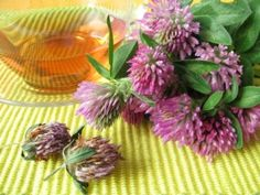 RED CLOVER TEA HEALTH BENEFITS Cure bronchitis, ulcers, cough, respiratory infections, treating cancer, anti coagulant, fertility.