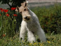 Chien Fox-Terrier