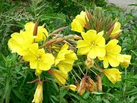 Learn all about Hooker's Evening Primrose (Oenothera elata) - what it looks like, where it grows, how to grow, where to buy Native Plants, Soil Texture, Growing Flowers, Types Of Soil, Flower Close Up, Perennial Herbs, Plants, Evening Primrose, Tall Plants