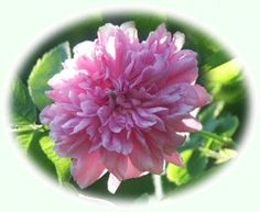 Torniolaaksonruusu - Ruusuenergiatipat® - Rose Flower Essence 10 ml