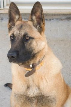 Belgian Malinois helped take down Osama bin Laden  with the Navy Seals- Love these dogs gorgeous mid size dog & family pet