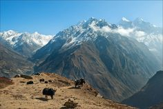 Cows grassing on the top of the nountain | cow, grassing, hillside, snowy peaks