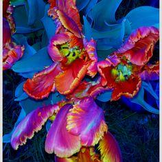 10 pcs/bag Bonsai Tulip Seeds Rare Rainbow Color Petals Tulip Flower Seeds Home Garden Potted Plants Exotic Seeds Parrot Tulips, Tulips Flowers, Exotic Flowers, Amazing Flowers, Daffodils, Planting Flowers, Beautiful Flowers, Art Flowers, Beautiful Gorgeous
