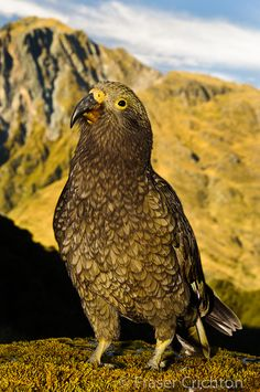 New Zealand Kea - cheeky bird &  destructive to your car or tramping gear but another smart parrot adapting to its habitat. Such a cool bird