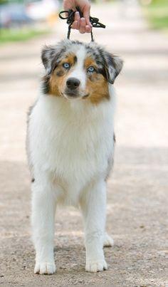 Australian shepherd.