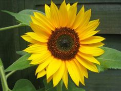 image of sunflowers | Edible Wild Plants: Common Sunflower (Helianthus Annuus)