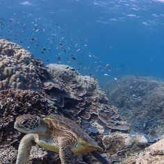 Great Barrier Reef – Come out of your shell, but not until you are ready! Funny Animals, Cute Animals, Turtle Love, Underwater Creatures, Great Barrier Reef, Ocean Life, Places Around The World, Under The Sea, Animal Photography