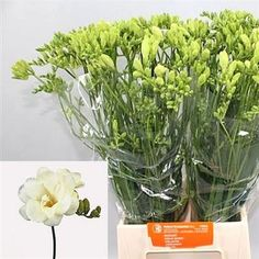 Freesia Volante is an ivory white double flowering variety. Stem length approx. 50cm. Wholesaled in 50 stem wraps.