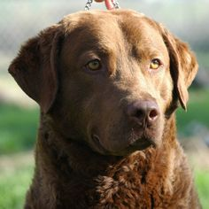 Chesapeake Bay Retriever. This picture reminds me of my ben♡♥