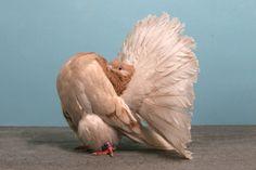La NPA, National Pigeon Association, organise tous les ans aux états-unis un concours de beauté pour les pigeons, voici des photos de quelques gagnants de l'édition 2010, il y a d'autres spécimens étonnants ici. Pigeon, Oiseau à la grise robe, Dans l'enfer des villes, A mon? regard tu te dérobes, Tu es vraiment le …