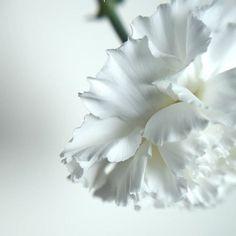 07:29 #photo #photography #picture #flowers #flowerslovers #flowerzdelight #ig_flowers #flowersofinstagram #flowerstalking #softfocus #flowersandmacro #pasandha__flowers #macrophotography #naturelover_gr #tv_flowers #ig_japan #ig_artistry #jj_onlywhite #mastersofwhiteness #macro_freaks #macroclique #fs_light #macro_spotlight #panasonic #lumixg6 #sigma #tv_depthoffield #tv_closeup #japan #sapporo