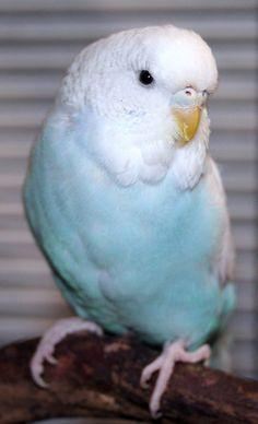 Skyblue cinnamon spangle female English budgie x American parakeet cross, Lassie