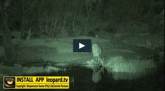 Did you know a bushbuck loves the water? They are also very good swimmers! Watch the video! Best Swimmer, Swimmers, Tv Videos, Tgif, Did You Know, Wildlife, Watch, Movie Posters, Clock
