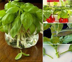 how-to-propagate-basil